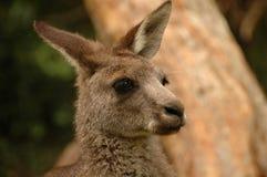 Headshot del canguro joven Imagenes de archivo