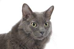Headshot del gato Foto de archivo