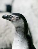 Headshot del pingüino de Humboldt Fotografía de archivo