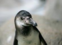 Headshot del pinguino di Humboldt immagini stock libere da diritti