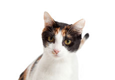 Headshot der schönen Kaliko-Katze Lizenzfreie Stockfotos