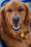Headshot des glücklichen golden retriever Lizenzfreie Stockfotografie