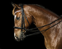 Headshot des Pferds Stockfoto