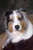 Headshot des schönen australischen Schäferhunds Stockfoto