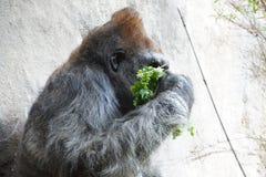 Headshot des Silverbackgorillas Stockfotografie
