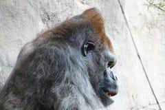 Headshot des Silverbackgorillas Stockfoto