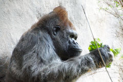 Headshot des Silverbackgorillas Lizenzfreies Stockfoto