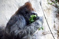 Headshot des Silverbackgorillas Lizenzfreies Stockbild