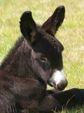 Headshot do asno Fotografia de Stock Royalty Free