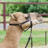 Headshot do camelo Fotografia de Stock
