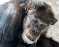 Headshot do chimpanzé Fotografia de Stock