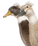 Headshot do Close-up do macho e de patos com crista fêmeas Fotografia de Stock
