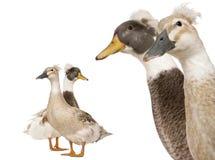 Headshot do Close-up do macho e de patos com crista fêmeas Fotos de Stock Royalty Free