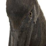 Headshot do Close-up do pelicano cor-de-rosa-suportado novo Imagens de Stock Royalty Free