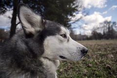 Headshot do Malamute Imagem de Stock Royalty Free