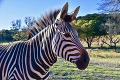 Headshot do ` s de Heartman: Zebra bonita do ` s de Heartman em Rim Wildlife Center fóssil, Glen Rose, Texas Imagem de Stock