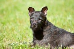 Headshot do terrier de Patterdale Fotografia de Stock