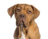 Headshot of a Dogue de Bordeaux puppy (5  months old) Stock Image