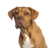 Headshot of a Dogue de Bordeaux puppy (5  months old) Royalty Free Stock Image