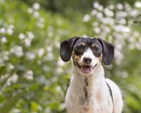 Headshot of doxie outside in garden with white flowers in background. Perky and alert, this white dappled dachshund pops up in front of the white flowers in the stock photography