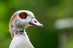 Headshot of an Egyptian Goose royalty free stock photos