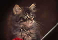 Norvegian Katze Stockfotos