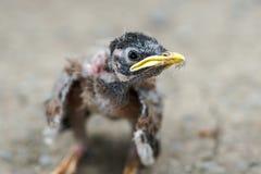 Headshot eines Babycommon myna Stockfotos
