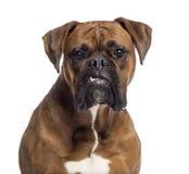 Headshot eines Boxers (10 Monate alte) Stockbild