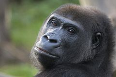 Headshot eines gefährlichen Gorillas Stockfoto