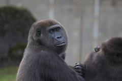 Headshot eines Gorillas Lizenzfreie Stockfotos