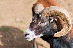 Headshot eines großen gehörnten RAM Stockfotos