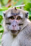Headshot eines langschwänzigen Makakens Stockfoto