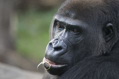 Headshot eines schwarzen Gorillas Stockfotos