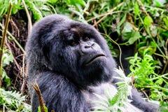 Headshot eines Silverbackberggorillas Lizenzfreie Stockfotos