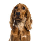Headshot of a English Cocker Spaniel (7 months old) Stock Images