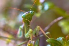 Headshot of European praying mantis Royalty Free Stock Photo