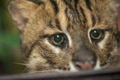 Headshot of an Fishing cat Royalty Free Stock Images