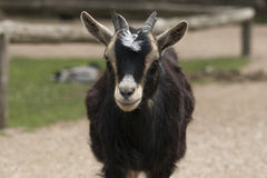 Headshot of four horned goat Stock Photography