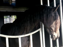Headshot of Friesian horse in horse trailer with sun over his fa. Ce Royalty Free Stock Images