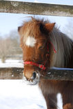 Headshot of a gentle funny pony in winter corral Royalty Free Stock Images