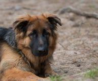 Headshot German shepherd dog Stock Photo