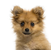 Headshot of a German Spitz puppy (3 months old) Royalty Free Stock Photo