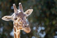 Headshot giraffe που κοιτάζει μακριά Στοκ εικόνες με δικαίωμα ελεύθερης χρήσης