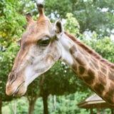 Headshot giraffe in zoo royalty free stock image