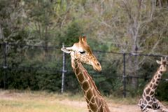 A Headshot of a Giraffe in a Zoo stock photography