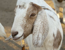 Headshot of a Goat Stock Photography