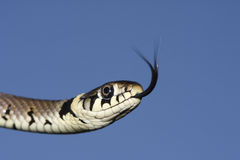 Headshot of a Grass snake Natrix natrix hunting for food with its tongue poking out tasting the air for its prey. Stock Photos