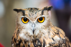 Headshot of a great horned owl Stock Image
