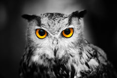 Headshot of a great horned owl Stock Photos