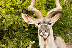 Headshot of a Greater Kudu Stock Photo